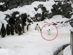 http://www.myamazingearth.com/2012/12/the-happiest-penguin-ever/
