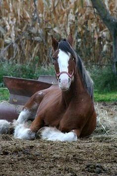 Clydesdale lying down