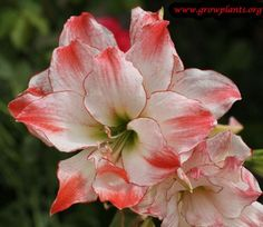 Amaryllis aphrodite learn 2 #grow #amaryillis http://www.growplants.org/growing/amaryllis