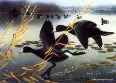 Les Kouba Coots Unlimited Duck Stamp