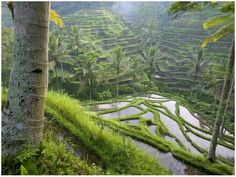 {rice patties, indonesia}  these almost look like mayan mountains but it's all rice fields!