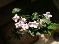 Image result for streptocarpus bristol's cotton candy