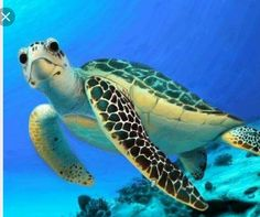 Your big tortoise is a source of pleasure to you. You bought the turtle so you can have more fun with family members and friends. Baby Sea Turtles, Cute Turtles, Beautiful Sea Creatures, Animals Beautiful, Baby Animals, Cute Animals, Funny Animals, Tortoise Turtle, Turtle Love