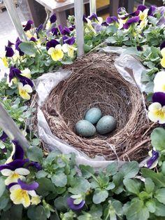 Nachwuchs im Hödnerhof! 🖤  Bei uns sind vor ein paar Tagen 3 kleine Vögel geschlüpft! 😍🐦 Vielleicht hat sie sogar jemand beim Einkaufen entdeckt, zu überhören waren sie auf jeden Fall nicht! ☺️😄  Jetzt haben sie die ersten Flugversuche und hüpfen ganz flott zwischen den Pflanzen, bzw Töpfen hin und her. 👏🌿😌 Wir konnten sogar beobachten, wie die Vogelmama die Kleinen füttert - sie versuchte es immer ganz unauffällig zu machen, meistens nur wenn niemand zuschaute. 🤫 Grapevine Wreath, Grape Vines, Flott, Wreaths, Photo And Video, Instagram, Videos, Decor, Little Birds