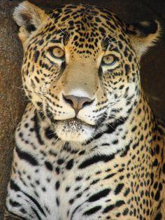 Naom the Jaguar (by Paula~Koala)