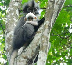 Jungle Treks & Tours from Bukit Lawang N. Sumatra - Experience Wild Jungles, Breathtaking Landscapes and Authentic Culture with TrekSumatra Gunung Leuser National Park, Lemurs, Orangutan, Primates, Monkeys, Old World, Trek, Bear, Animals