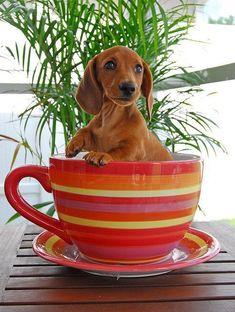 Dachshund puppy in a great big tea cup - cute!: Dogs, Dachshund, Doxie, Puppy, Tea Cups, Teacup, Animal