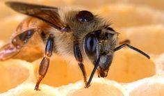 #DatoCurioso A pesar de que las #Abejas tienen el cerebro del tamaño de una semilla de sésamo, son capaces de contar hasta el número cuatro, ésto es lo que arrojó un estudio realizado por científicos de Australia en el cual se pusieron cinco marcas dentro de un túnel y se colocó néctar en una de ellas, las abejas productoras colocadas en el túnel llegaron hasta la marca con alimento y siguieron volando hasta ella a pesar de haberse retirado el néctar.