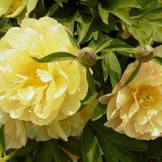Voimakkaan keltaisissa kukissa auetessa punaista. Puolikerrottu. Vahva, pystyssä jopa sateessa. Mieto, miellyttävä tuoksu.Jalostettu: Smith 2002