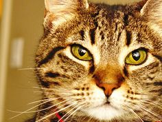So like Charlie - Cat Photography  Tabby Cat by dleerium on Etsy, $12.00