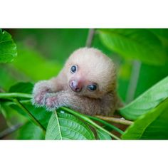 Costa Rica: Animal rights activist shows the most cute sloth photos - Baby Sloth - Baby Animals Pictures, Cute Animal Pictures, Animals And Pets, Funny Animals, Adorable Pictures, Strange Animals, Funny Sloth Pictures, Funny Pics, Pictures Of Sloths