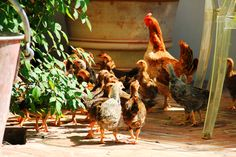le nostre galline  our chikens
