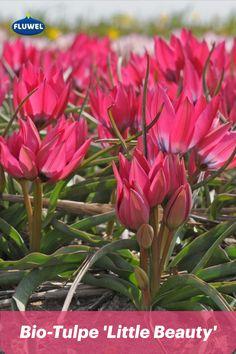 Diese Miniaturtulpe heißt 'Little Beauty'. Sie wird 10 - 20 cm groß und öffnet ihre zarten Köpfe Mitte März. Im Innern ihrer pinkfarbenen Blüte offenbart sie ein dunkles Herz mit weißem Rand. Eine fröhliche Frühjahrsblüherin, die sich sowohl im vorderen Beetbereich als auch im Topf auf Terrasse oder Balkon gut macht. Übrigens kommt sie aus unserem Bio-Sortiment und wurde besonders naturfreundlich kultiviert. Wenn all das keine Gründe sind, dieser Schönheit einen Platz im eigenen Garten zu… Toe Nail Art, Toe Nails, Toenail Art Designs, Kids Curly Hairstyles, Tulip Bulbs, Korean Wedding, Manicure At Home, Artificial Nails, Mani Pedi