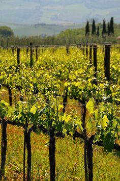 Montalcino - Brunello vines, Tuscany, Italy