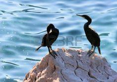 couple of cormoratnts