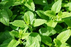 There is also a science to companion planting in the herb garden, and many herbs are great complements to plants in your veggie garden as well and this article will Healing Herbs, Medicinal Plants, Herb Plants, Natural Healing, Natural Herbs, Peppermint Plants, Peppermint Leaves, Old Farmers Almanac, Deer Resistant Plants