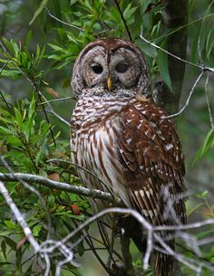 hoot owls have such pretty feathers