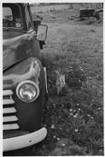 """CANADA. Lambton County, Ontario. 1998. """"Rusty' the cat in dandellions walks by the TOWELL family's 1951 Chevy pickup truck. In the background is a 1940s Case tractor still used by the photographer for farm maintenance and for collecting firewood. Also in the background are small cedar trees planted in a double row by the photographer that lead to a pioneer cemetery at the back of the farm. ©Larry Towell/Magnum Photos"""