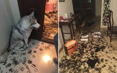 Family Return Home to Find Husky Has Kindly Redecorated for Them.