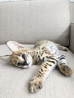 Bengal Cat Gallery - Cat's Nine Lives Animals And Pets, Baby Animals, Cute Animals, Puppies And Kitties, Cats And Kittens, Bengal Kittens, Cats Meowing, Cats Bus, Bulldog Puppies