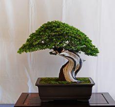 bonsai itoigawa - Google Search