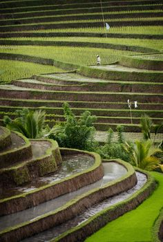 Rice terraces.Belimbing area Bali