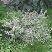 Abelia grandiflora--Silver Anniversary
