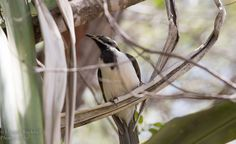 Fraser Island Birds Australia 20 Dec 2014-13 | Explore Maggi… | Flickr - Photo Sharing!