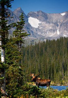 Bull Moose in Long Lake, mountains in background, Colorado