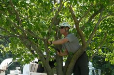 #TreeTrimming is the process of cutting or reducing in size branches of a tree, to improve the appearance and health of the tree, or re-shape i