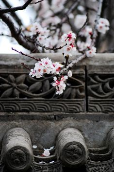 These white plum blossoms in China portray the delicacy and beauty in nature perfectly!