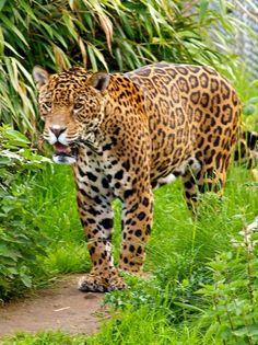 Jaguar - Chester Zoo