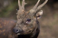 Visayan spotted deer (Rusa alfredi) or Philippine spotted deer at Edinburgh Zoo, Edinburgh, Scotland.