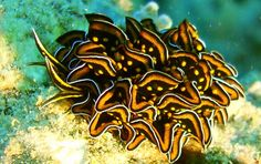Nudibranch - Cyerce nigricans