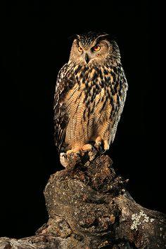 Great horned owl <3 so beautiful