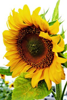 exotic flower / Sunflower Sensation by Timmy Brister Sunflower Garden, Sunflower Flower, My Flower, Gerbera, Happy Flowers, Beautiful Flowers, Sun Flowers, Beautiful Gorgeous, Sunflowers And Daisies