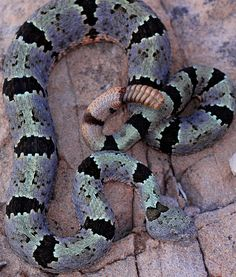 Banded Rock Rattlesnake (Crotalus lepidus klauberi)    Adult male. We see this guy every year, he just gets prettier and prettier!