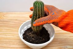 How to Grow Cactus Indoors. Cacti are typically desert-dwelling plants that thrive in dry and hot conditions, but these plants also make excellent indoor houseplants. Cacti are quite low-maintenance and need less care than many other. Succulent Gardening, Succulent Care, Cacti And Succulents, Cactus Care, Cactus Flower, Mini Cactus, Cactus Cactus, Cactus Planta, Cactus Y Suculentas