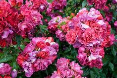 We've compiled a list of the easiest roses to grow.your foolproof rose growing guide so that no matter where you are, how minimal your gardening skills, you'll be able to enjoy a beautiful rose garden! Organic Gardening, Gardening Tips, Rose Garden Portland, Secret Garden Book, Rose Garden Design, Rose Got, Rose Care, Soil Layers, Simple Rose