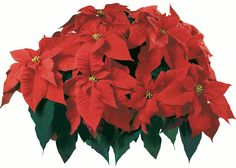 Named for Joel Poinsett, the U.S. minister to Mexico who brought the plants home in 1825, the poinsettia is always decked in holiday colors. Electric Fires, Beautiful Flowers Garden, Foliage Plants, Tropical Garden, Orange Color, Tis The Season, Poinsettia, Leaves, Christmas Decorations
