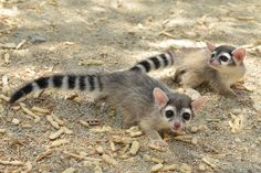 Ringtail Cubs Debut at The Living Desert  Two Ringtails born June 12 at The Living Desert in California recently made their debut. Because Ringtails are nocturnal creatures, the staff shows off the babies during twice daily hand feedings, giving guests a better chance to see the babies.