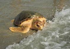 February 7, 2013 - Three green sea turtles are returned to the ocean at Sebastian's Inlet, near Vero Beach, Florida.