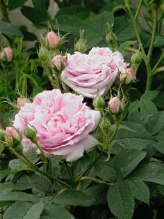 'The Queen of Denmark' | Alba, Centifolia Rose. James Booth (Germany, 1816). | Flickr - © Poppins