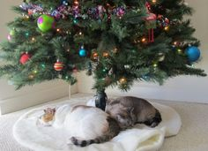 Keep your cats out of the Christmas tree. Plus, some decorating precautions to keep kitty safe.