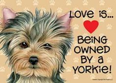 ^^Learn about yorkie poo. Check the webpage to find out more Viewing the website is worth your time. Yorkies, Yorkie Puppy, Baby Yorkie, Chihuahua, I Love Dogs, Puppy Love, Cute Puppies, Cute Dogs, Poodle Puppies