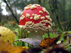 Fly Agaric mushroom in Sherwood Forest