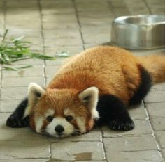 Pretty Animals, Cute Little Animals, Cute Funny Animals, Animals Beautiful, Red Panda Cute, Animal Facts, Tier Fotos, Spirit Animal, Animals And Pets