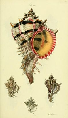 "Luis Ruiz on Twitter: ""The conchological illustrations or, Coloured figures of all the hitherto unfigured recent shells 1832 @BioDivLibrary https://t.co/ygayiEfV21 https://t.co/PoViDtWNWw"""