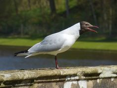 Foto: Claiming for food, Black-headed Gull. Réclamation, Mouette rieuse.  #waterbirdwednesday +Water Bird Wednesday: Curators +Margaret Tompkins #BTPBirdPro – +BTP Bird Pro . owned by +Nancy Dempsey ,curated by +Jack Stepanyan and +Walli Veeser #birdspecieslink  #birdsinfocus and +Birds in Focusby +Risto Talman #birdsgallery and +Birds GALLERYby +Heinrich Wagner+Susan Wilkinson  #birds  #birdphotography  #seagull  #hqspbirds +HQSP Birds curated by +Andy Brown +Dilip Mundkur and…
