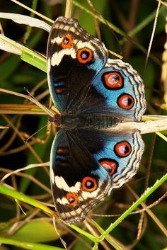 Blue Pansy (Junonia orithya, Nymphalidae)  occurring from Africa, through southern and south-eastern Asia, and in Australia.